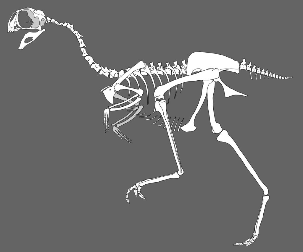 The Avimimus had bone structure similar to that of a bird.